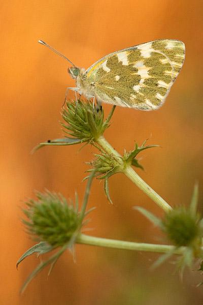 Resedawitje (Pontia daplidice)