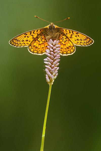 Ringoogparelmoervlinder (Boloria eunomia)