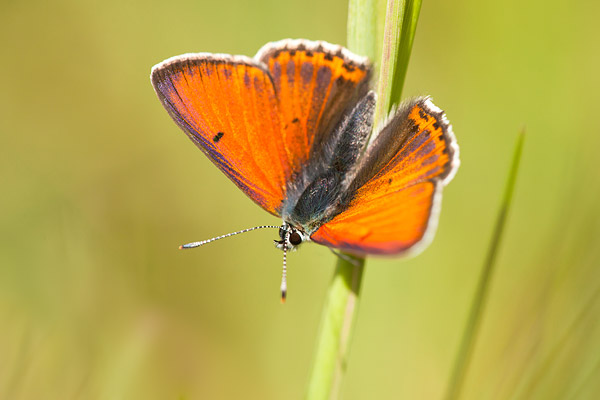Rode vuurvlinder (Lycaena hippothoe)