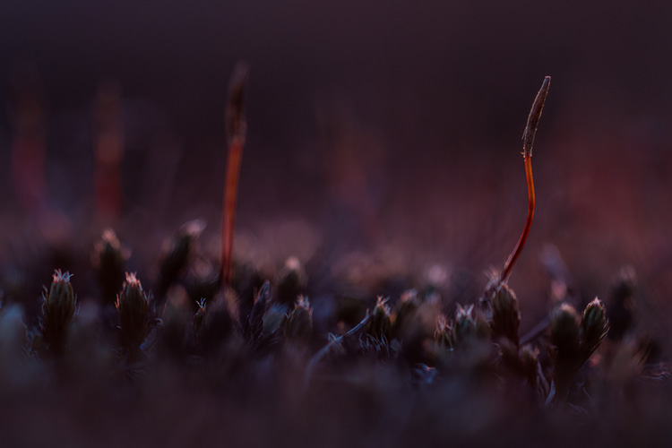 Ruig haarmos (Polytrichum piliferum) bij zonsopkomst
