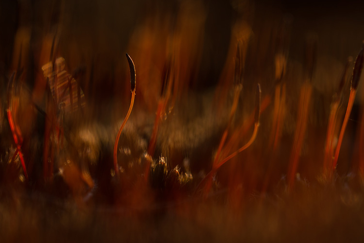 Vorig rood oranje bloeiend ruig haarmos (Polytrichum piliferum)