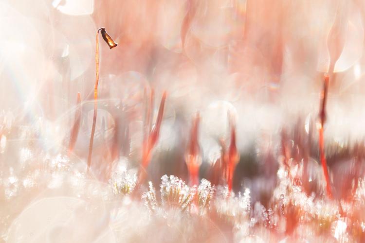 Sporenkapsel van ruig haarmos met bokeh
