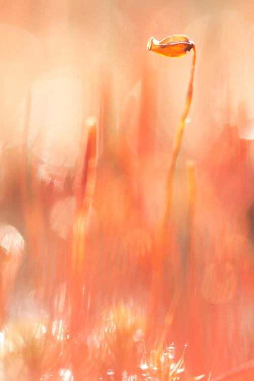 Sporenkapsels van het ruig haarmos in tegenlicht