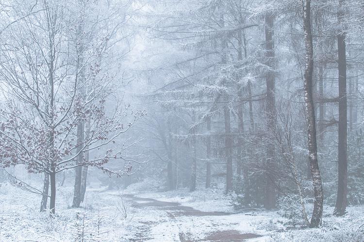 Besneeuwde larixtakken in een mistig landschap
