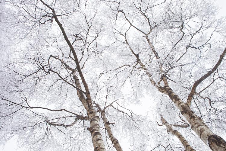 Patroon van besneeuwde berkentakken op de Sallandse heuvelrug
