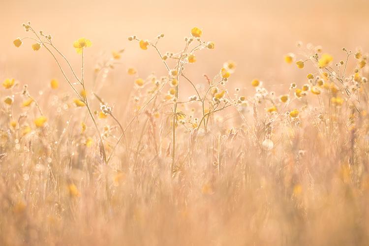 Veld met Scherpe boterbloem (Ranunculus acris) bij zonsopkomst