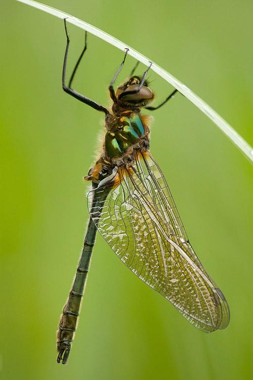 Vers uitgeslopen mannetje Smaragdlibel (Cordulia aenea)