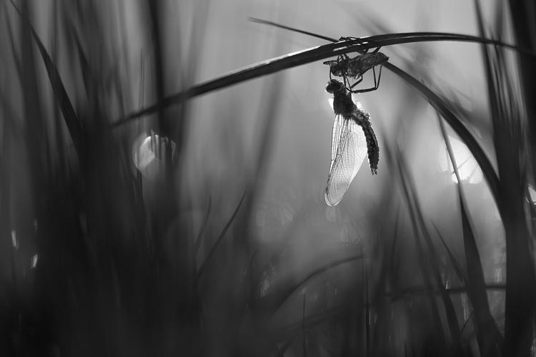 Uitsluipende Smaragdlibel (Cordulia aenea)