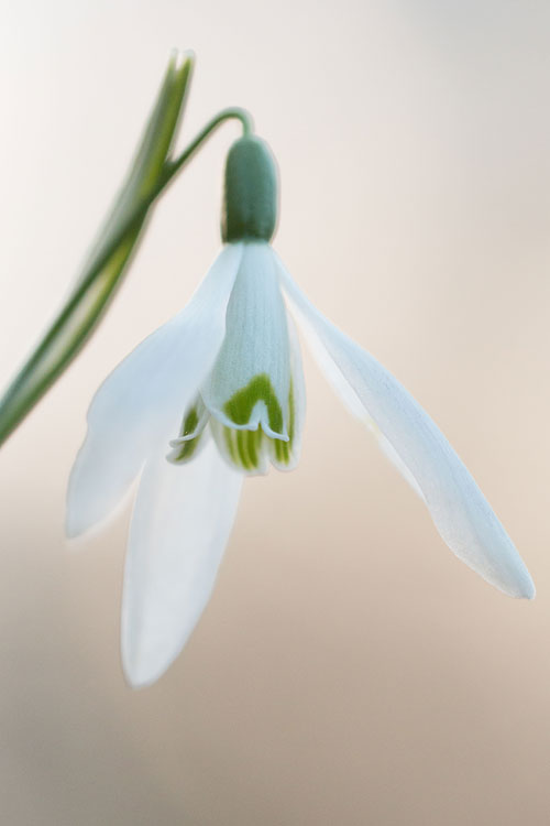 Close-up van een Sneeuwklokje (Galanthus nivalis)