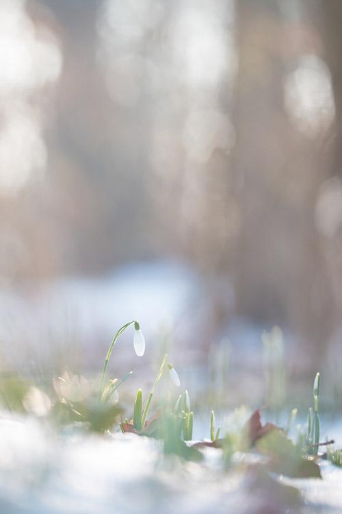 Sneeuwklokjes (Galanthus nivalis) met aquarel achtige bokeh