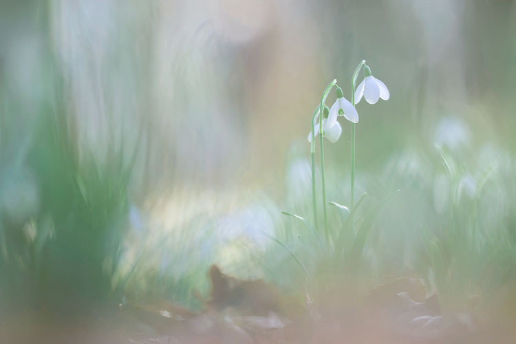 Sneeuwklokje (Galanthus nivalis)