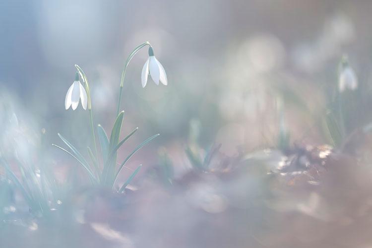 Sneeuwklokjes lijken wel elfen lantaarntjes