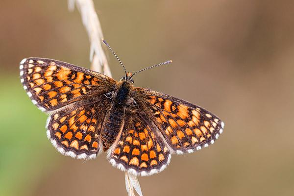 Spaanse parelmoervlinder (Melitaea deione) in de Cevennen