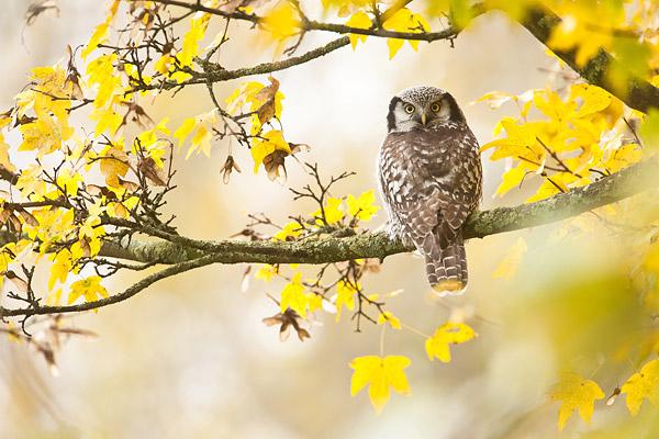 De sperweruil (Surnia ulula) uit Zwolle in een prachtige herfstsetting