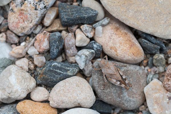 Nimf van een sprinkhaan op een grindbank langs de Tarn