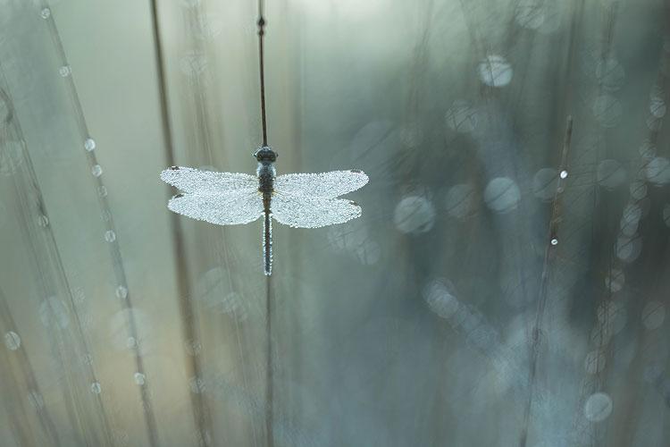 Steenrode heidelibel (Sympetrum vulgatum) in pijpenstrootje