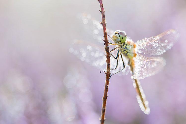 Steenrode heidelibel (Sympetrum vulgatum) tussen de bloeiende heide