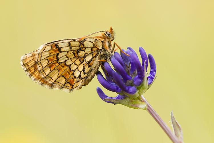 Steppeparelmoervlinder (Melitaea aurelia)