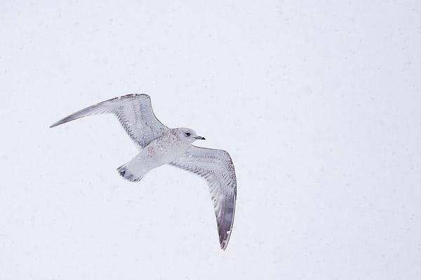 Stormmeeuw (Larus canus) (1e winter)