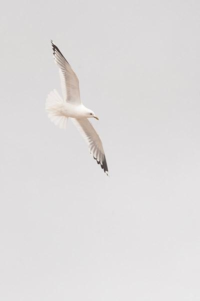 Stormmeeuw (Larus canus) adult in vlucht