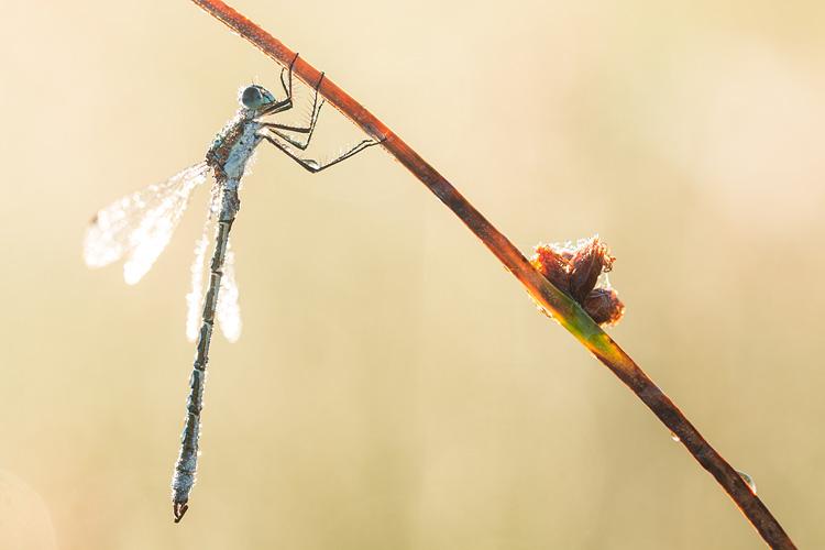 Mannetje Tangpantserjuffer (Lestes dryas) in tegenlicht