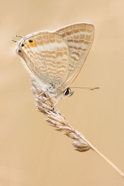Tijgerblauwtje (Lampides boeticus) op gras