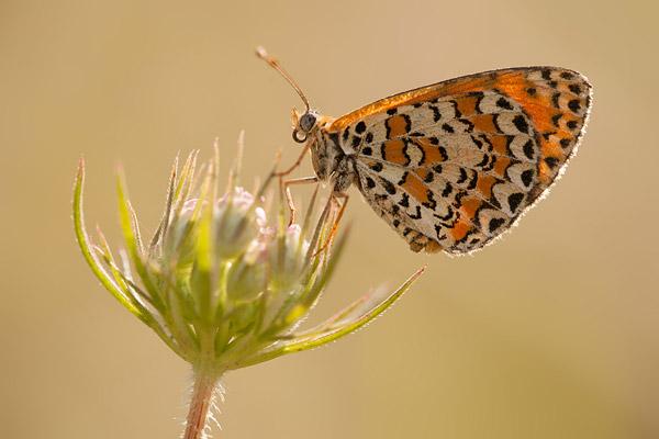 Toortsparelmoervlinder (Melitaea trivia)