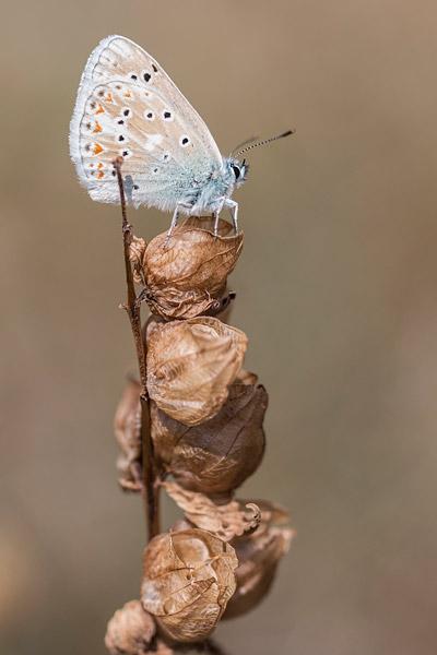 Turkoois blauwtje (Polyommatus dorylas)