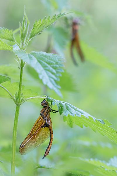 Twee uitsluipende tweevlekken (Epitheca bimaculata)