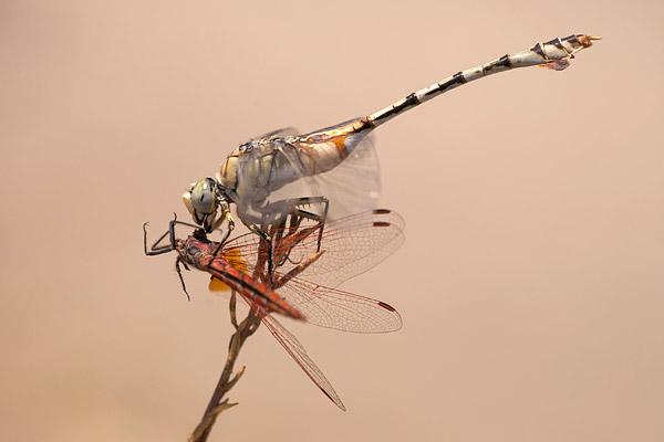 Vaandeldrager (Lindenia tetraphylla) met purperlibel als prooi