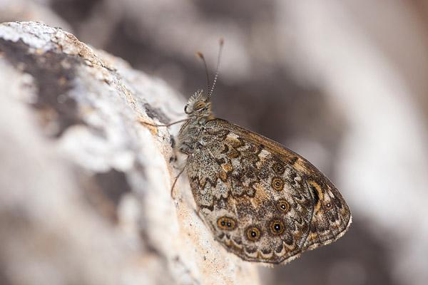 Vale argusvlinder (Lasiommata paramegaera)