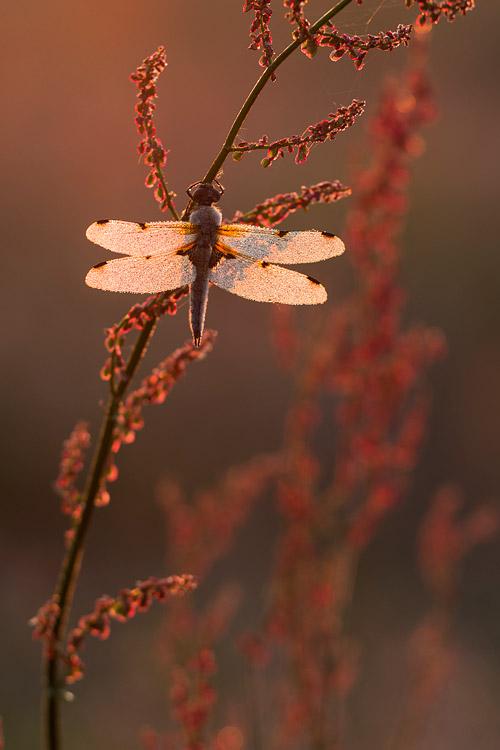 Bedauwde viervlek (Libellula quadrimaculata) in zuring en tegenlicht