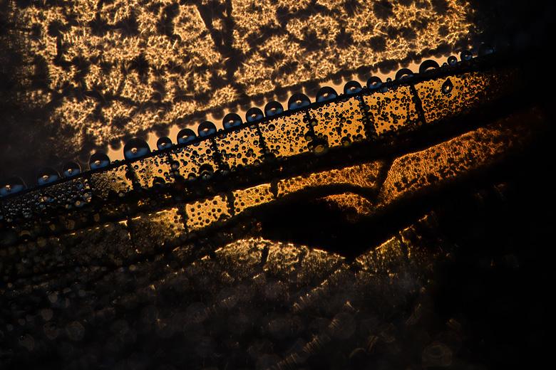 Viervlek (Libellula quadrimaculata) abstracte close-up van de vleugel met dauwdruppels.