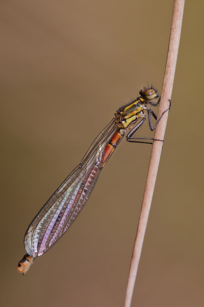 Vuurjuffer (Pyrrhosoma nymphula) vers vrouwtje