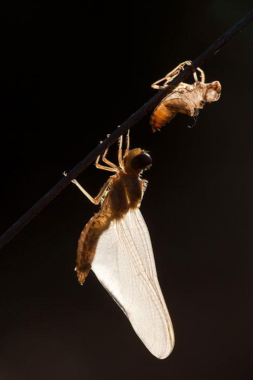 Uitsluipende vuurlibel (Crocothemis erythraea) met exuvium