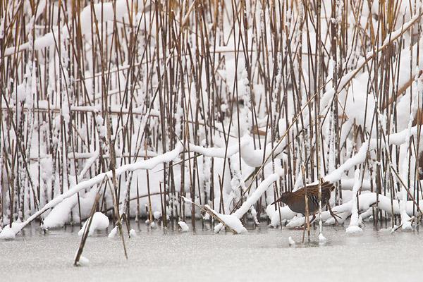 Waterral (Rallus aquaticus) sluipt door het riet