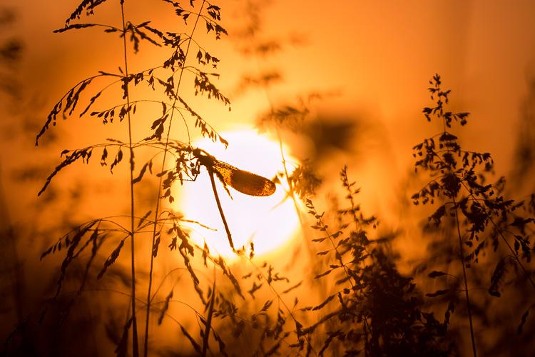 Weidebeekjuffer (Calopteryx splendens) silhouet bij zonsopkomst