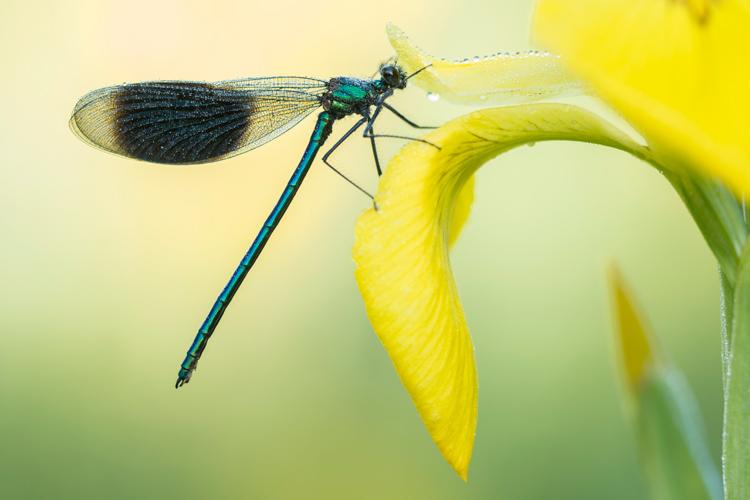Weidebeekjuffer (Calopteryx splendens) mannetje op de bloem van een gele lis