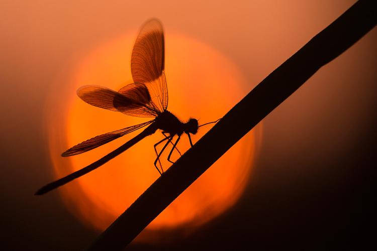 Silhouette van een Weidebeekjuffer (Calopteryx splendens) met gespreide vleugels
