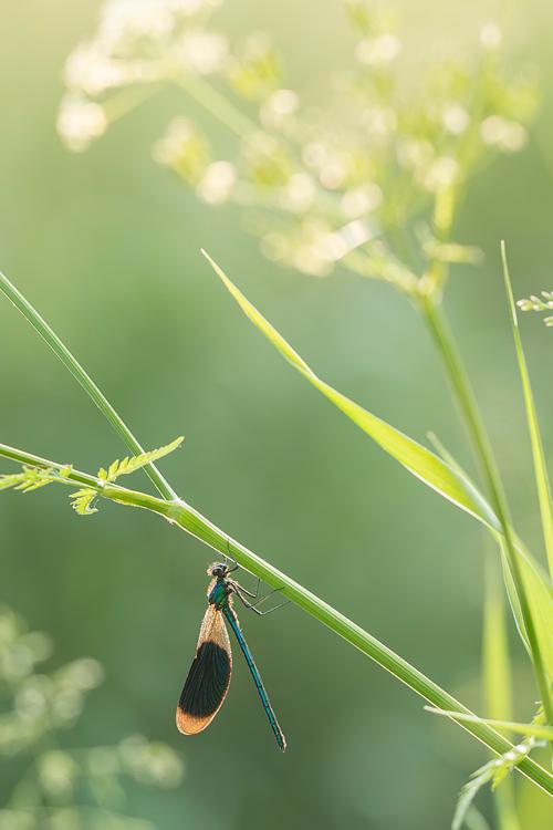 Weidebeekjuffer (Calopteryx splendens) in zijn rommelige, maar fotogenieke habitat