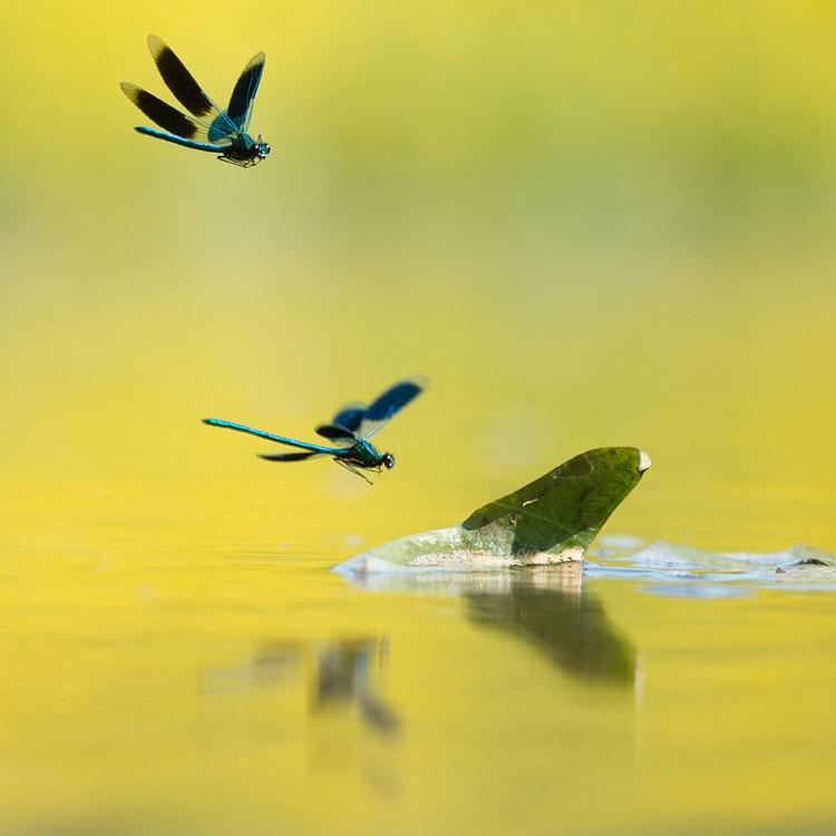 Twee mannetjes weidebeekjuffer (Calopteryx splendens) in vlucht vastgelegd