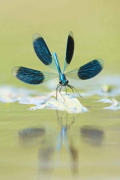 Mannetje weidebeekjuffer (Calopteryx splendens) mannetje dreighouding
