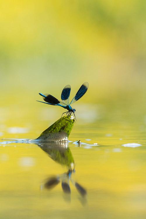 Mannetje weidebeekjuffer (Calopteryx splendens) land op uitkijkplek