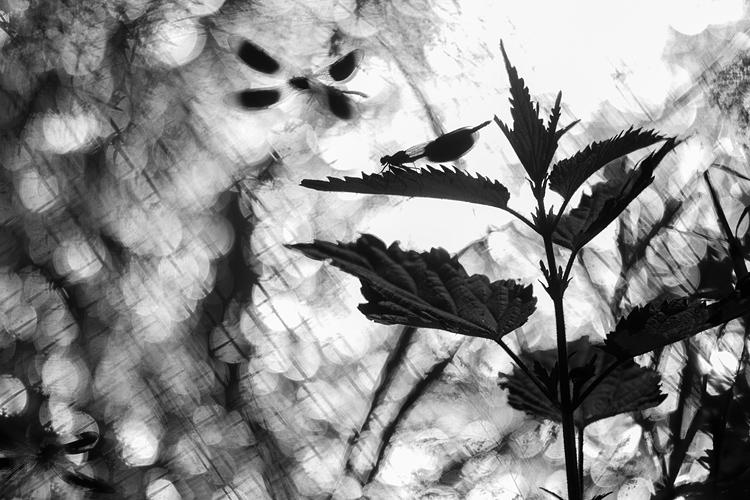 Territoriale mannetjes weidebeekjuffer (Caloptery splendens)