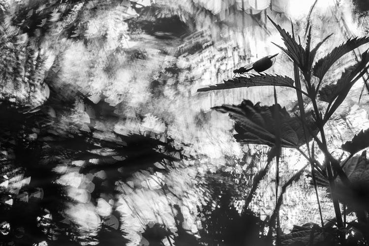 Weidebeekjuffer (Calopteryx splendens) in zwart-wit