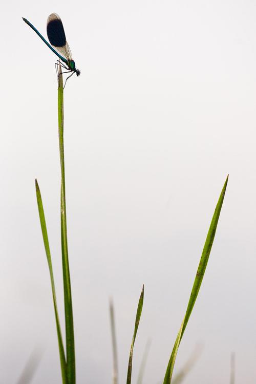 Weidebeekjuffer (Calopteryx splendens) mannetje