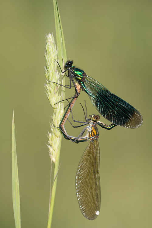 Copula Weidebeekjuffer (Calopteryx splendens)