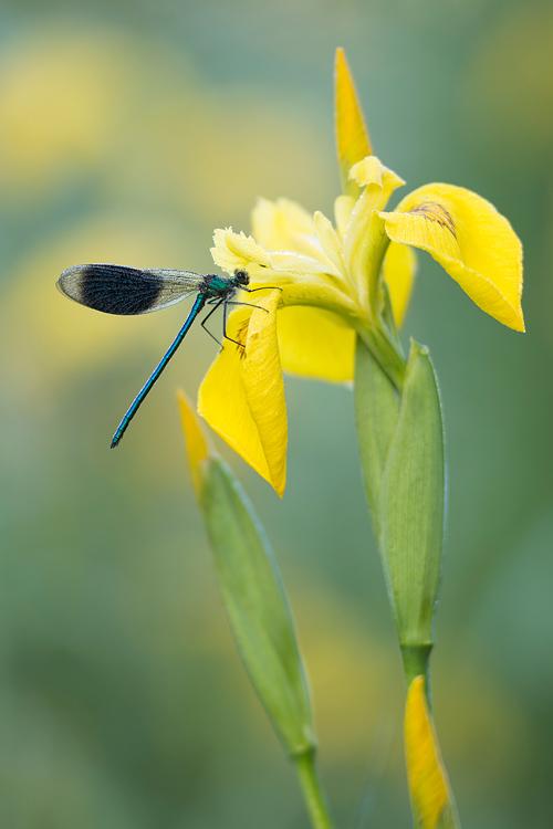 Weidebeekjuffer (Calopteryx splendens) mannetje op een gele lis bloem