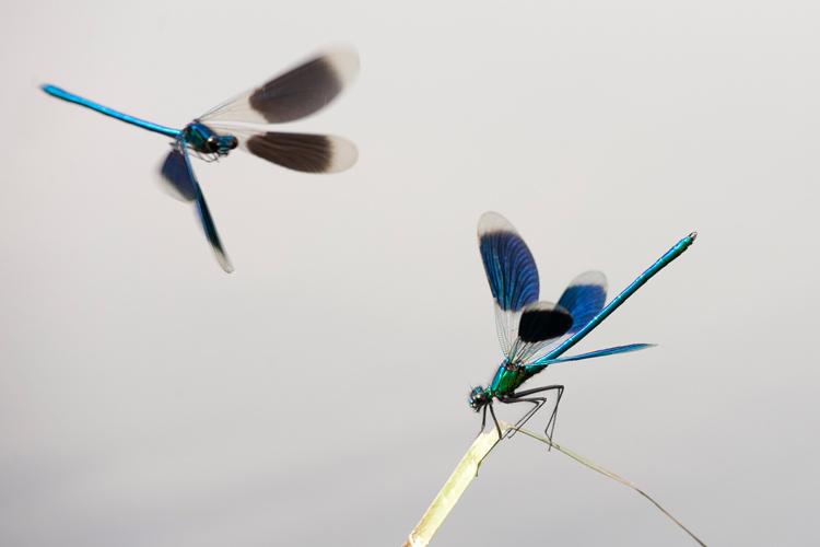 Rivaliserende mannetjes Weidebeekjuffer (Calopteryx splendens)