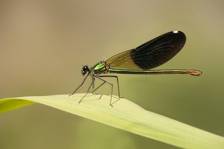 Androchroom vrouwtje Weidebeekjuffer (Calopteryx splendens) ssp intermedia (Calopteryx splendens intermedia)
